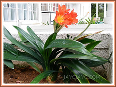 Clivia miniata (Bush Lily, Kaffir Lily, Clivia Lily, St John's Lily, Fire Lily) in Cameron Highlands