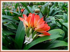 Numerous potted Clivia miniata (Bush Lily, Kaffir Lily, Fire Lily) at Cactus Valley, Cameron Highlands