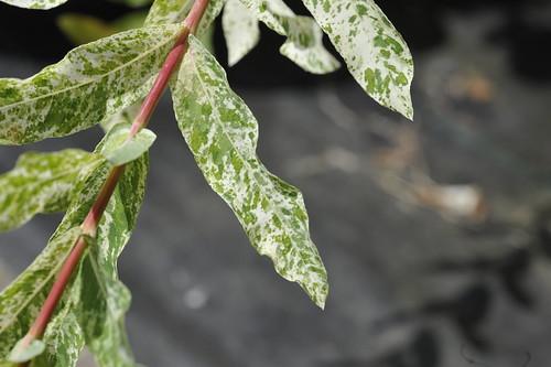 Salix integra 'Hakuro-nishiki