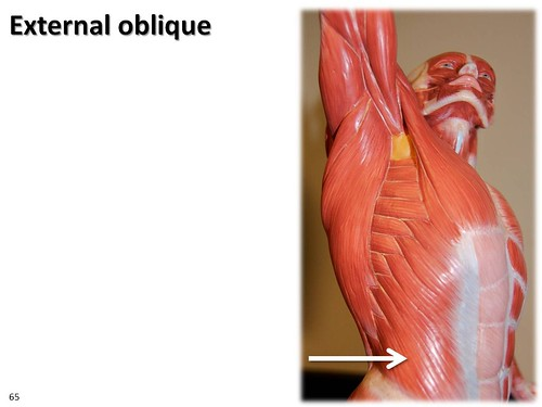 External oblique, dynamic pose - Muscles of the Upper Extremity ...