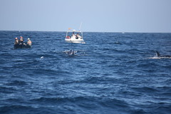 orca (Olaya Garcia) Tags: sea wild water canon eos mar agua mediterraneo killer whale orca gibraltar strait tarifa estrecho atlantico orcinus avistamiento orque turmares whalewhatching epaulard 1000