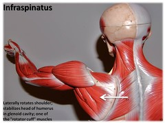 Infraspinatus - Muscles of the Upper Extremity...