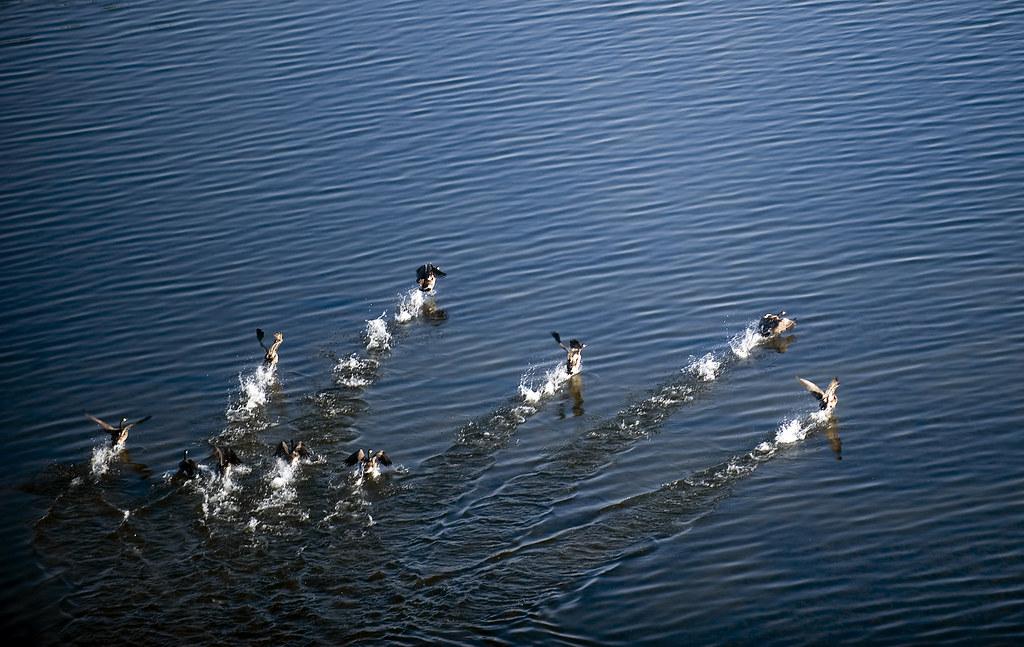 Ducks Aerial