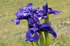 Iris des Pyrnes (m-idre31) Tags: iris mer france de la lac pic du des gran nuages et blanc col brume pyrnes etang valle tour