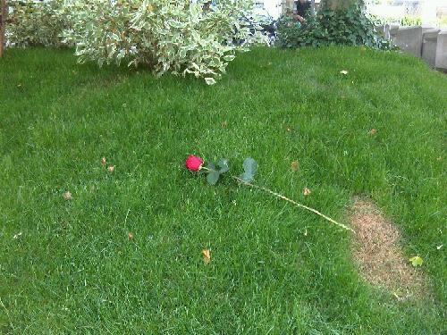 Einsamen Rosen