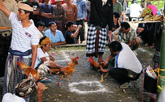 Preparing For Chicken Fighting (cwgoodroe) Tags: summer bali dog gambling colors clouds reflections indonesia duck fight tour rice culture palm padi betting patties cockfight ubud chiken paddies sate batubulan beautifulbali
