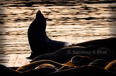 SeaLion Sunset (Sandeep K Bhat) Tags: ocean sanfrancisco california sunset sea sun nikon pacific dusk sfo salute lion pier39 sealion 39 d90