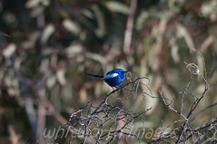 Male White-winged Fairywren (whitworth images) Tags: blue wild male bird nature beautiful animal nationalpark feathers australia aves tiny nsw stunning vegetation newsouthwales outback perched wren alive shrub creature habitat avian whitewinged fairywren sturtnationalpark whitewingedfairywren malurusleucopterus