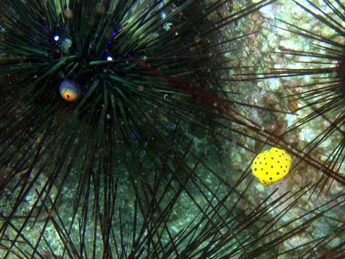 yellow boxfish (ミナミハコフグ) #0782