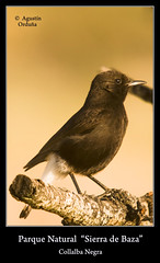 Collalba Negra (Agustin Ordua) Tags: naturaleza aves hide pajaros mariposa baza passeriformes parquenatural turdidae ordua collalba oenantheleucura collalbanegra parquenaturalsierradebaza agorca