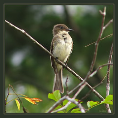 eastern phoebe (mimbrava) Tags: bird interesting bravo mimbrava arr easternphoebe cnc allrightsreserved sayornisphoebe 338 featheryfriday supereco mimeisenberg mimbravastudio
