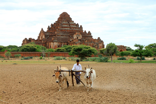 Ploughing with oxen in Bagan, Myanmar