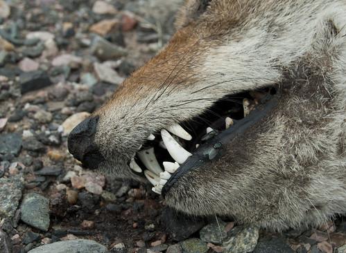 August Coyote II