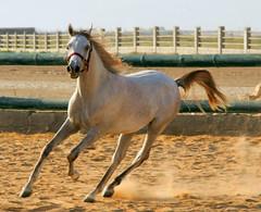 Horse <33 (Maryam.Ibrahim) Tags:
