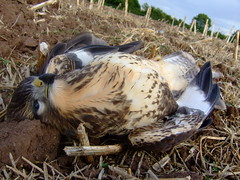Unfortunate Buzzard (Cropwell Birder) Tags: nottingham butler buzzard cropwell