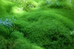 "Polytrichum commune (Мох ""зозулин льон"") (Wolfhowl) Tags: green forest moss ukraine carpathians україна polytrichumcommune зелень ліс мох карпати зозулин льон"