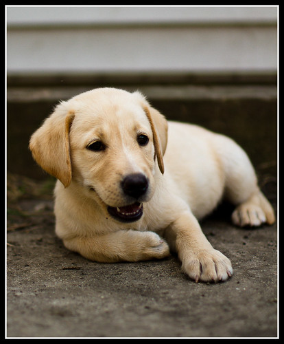 Rubi - yellow Labrador Retriever