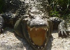 Smile for the Camera (KoolPix) Tags: alligator gator animal teeth jaws reptile nature dailynaturetnc10 photocontesttnc10 lifetnc10 dailynaturetnc14 photocontesttnc14 wcswebsite dailynaturetnc13