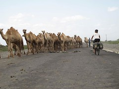 11b. Camels use the road still under construction, 20km from Tog Wajale