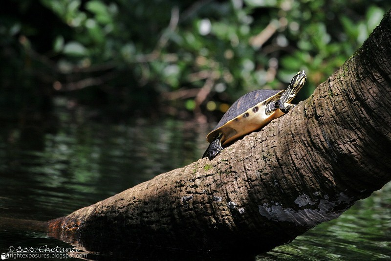 Florida Redbelly Turtle