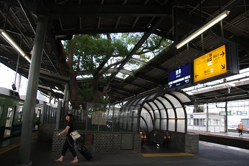 A big camphor tree in the station