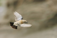 (Fu-yi) Tags: wild bird nature birds animal desert sony flight taiwan  wheatear   mywinners