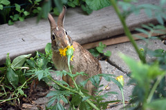 Rabbit eats marrigold 094
