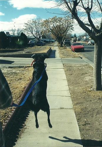 Grady jumping on a walk
