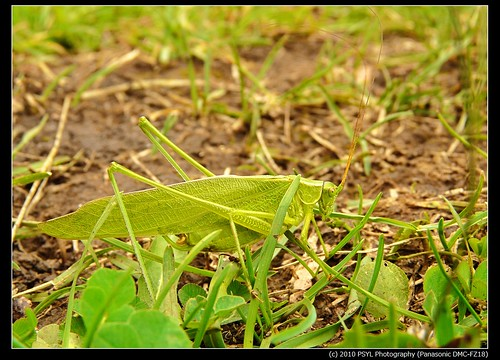 Unidentified Katydids