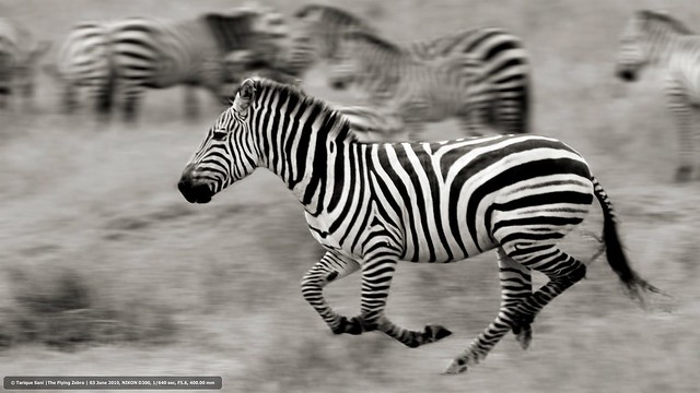 The Flying Zebra