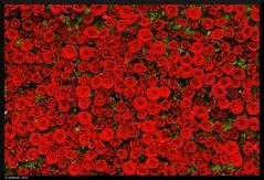 rose bed (pulikken) Tags: india flower rose flowershow rosebuds stockphotography photoforsale:price=mailme stockbusiness
