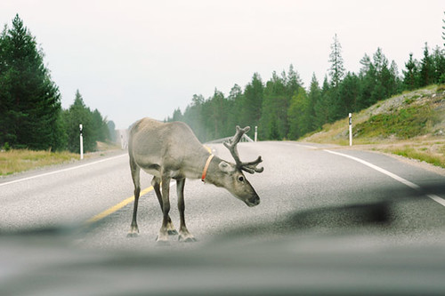Reindeer on the way