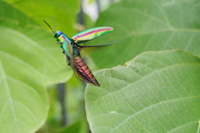 Chrysochroa fulgidissima