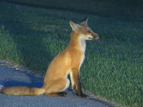 red fox at the boat launch, Westport, NY
