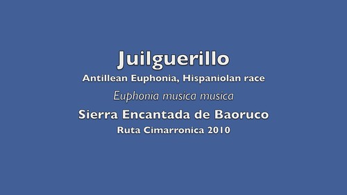 Juilguerillo-Antillean Euphonia-Euphonia musica-Hispaniolan race-