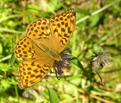 Buttefly (J. M. R.) Tags: summer orange nature animal animals butterfly insect wildlife meadow