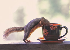 Mmmmm, coffee! (Peggy Collins) Tags: orange canada cute coffee interestingness squirrel tea coffeecup britishcolumbia explore pacificnorthwest teacup frontpage penderharbour sunshinecoast cupandsaucer naturesfinest blueribbonwinner douglassquirrel lolanimal funnysquirrel cutesquirrel cutepicture peggycollins funnysquirrelpicture