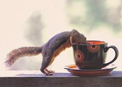 Mmmmm, coffee! (Peggy Collins) Tags: orange canada cute coffee interestingness squirrel tea coffeecup britishcolumbia explore pacificnorthwest teacup frontpage penderharbour sunshinecoast cupandsaucer naturesfinest blueribbonwinner douglassquirrel lolanimal funnysquirrel cutesquirrel cutepicture peggycollins funnysquirrelpicture