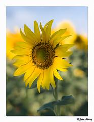 Cercant el Sol (Juanlvarez) Tags: azul sony cel amarillo cielo blau nocturnas girasol groc llum paisvalencia fontanars sonyal