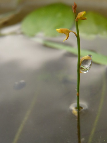 utricularia bifida with a waterdrop