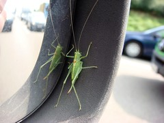 Becky on board (>kaboom<) Tags: auto macro green nature car animal closeup mirror spiegel becky grasshopper sidemirror locust grn makro hopper tier sauterelle 2010 wingmirror cavalletta saltamontes grashpfer gomphocerinae  chapuln blinderpassagier tucura lzhmng