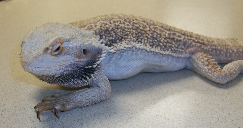 how to become a reptile veterinarian