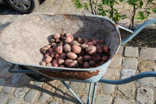 aardappeloogst Red Baron