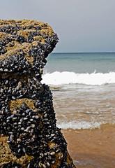 camarero!!! (rakelilla/robin) Tags: ocean blue sea praia beach portugal robin animal rock azul mar nikon shell playa atlantic animales atlanticocean roca conchas oceano rakel atlantico amado doamado cabodesanvicente oceanoatlantico costavicentina costaportuguesa rakelilla portugalscoast stvicentescape paraiadoamado d300snikond300s