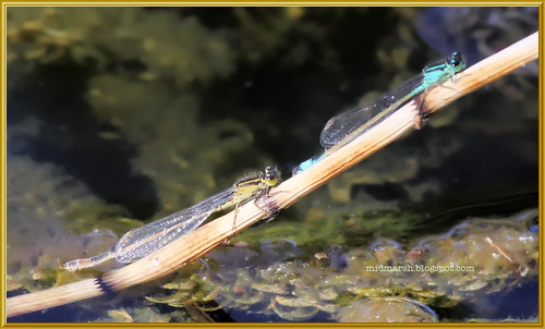 Blue-tailed Damselflies 1