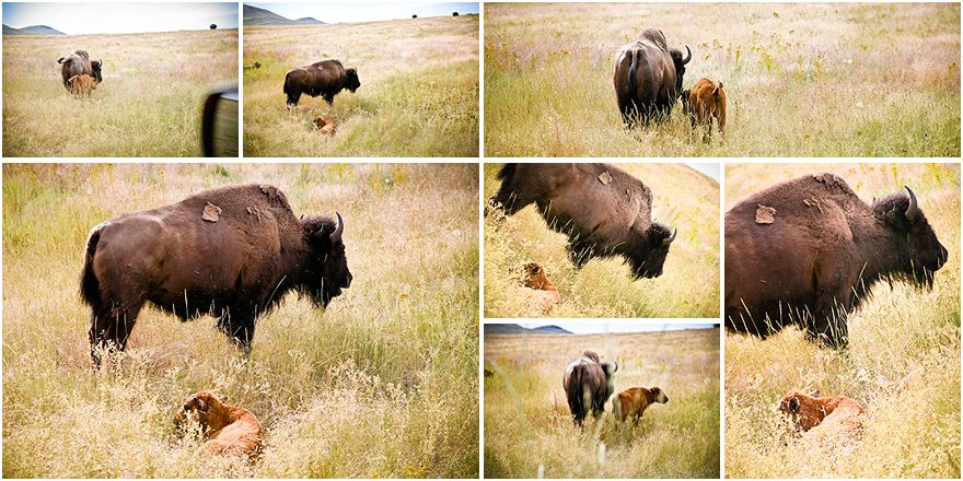 mama & baby bison