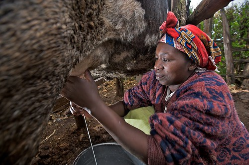 Woman milking
