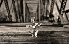 Faded flower (95wombat) Tags: bw newyork abandoned rotting sepia weed rust decay