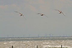 Wings (ivlys) Tags: summer vacation bird ducks northsea enten windrad nordsee windwheel vogel wattenmeer tideland ivlys inseljuist islandjuist