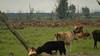 Cervus elaphus - Edelhert - Red Deer (Ed Steenhoek) Tags: reddeer lelystad oostvaardersplassen cervuselaphus edelhert heckrund heckcattle bosdomesticus